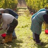 Caporalato, le vigne piemontesi come Rosarno: sgominata una banda che sfruttava