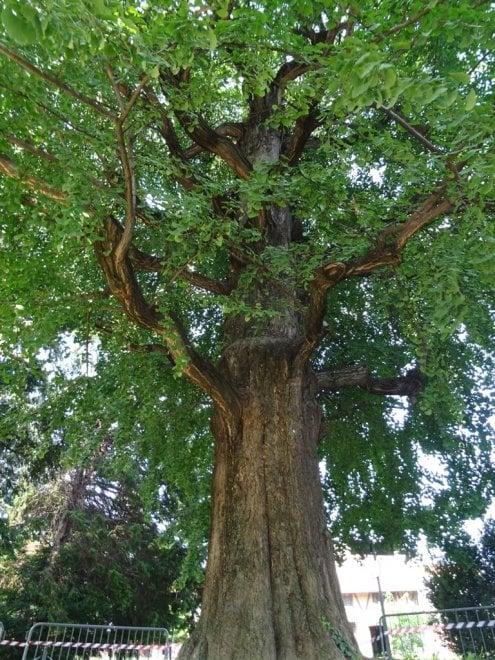 Grugliasco, addio al gigante delle Serre: a rischio il Ginkgo Biloba pluricentenario