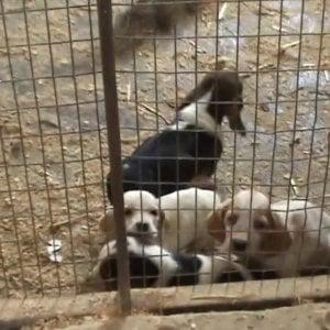 Cuneo, traffico di cuccioli dall'Ungheria: in viaggio senza cibo né acqua,venti indagati