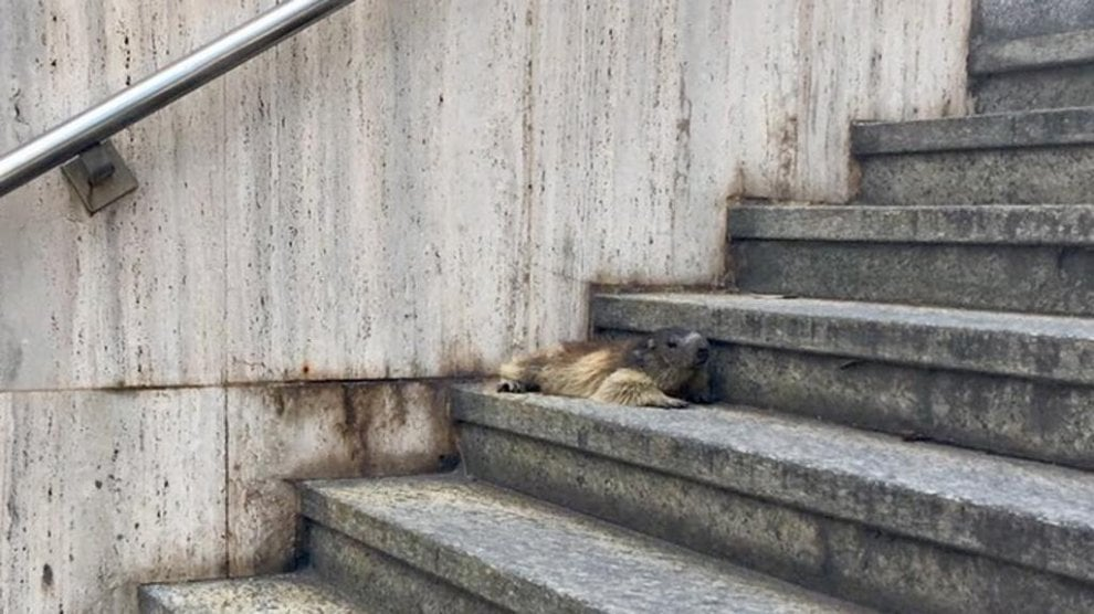 Cucciolo di marmotta abbandonato sulle scale della Posta ad Aosta