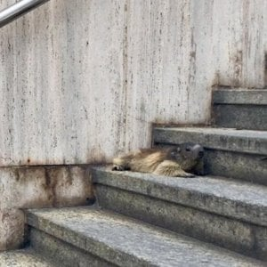 """""""Postina"""", la marmotta ritrovata nel centro di Aosta, è tornata nel parco Gran Paradiso"""