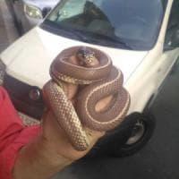 """Torino, spunta un serpente sul marciapiede a San Salvario: """"Andava a caccia di topi"""""""