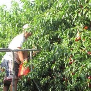 La Finanza scopre sette lavoratori in nero nelle aziende agricole del Saluzzese