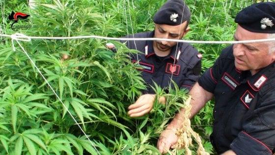 """Piemonte, il cambiamento di clima favorisce la marijuana """"a km zero"""": boom di coltivazioni"""