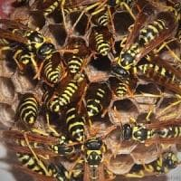 Biella: assalito da uno sciame di vespe, gli si ferma il cuore: salvato