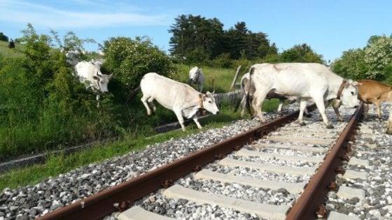 Biella, treno investe una mandria di mucche. Paura tra i passeggeri