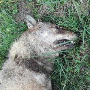 Un lupo trovato morto a Giaveno, forse investito da un'auto