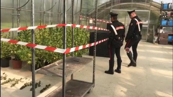 Rivoli, tra i fiori del vivaio una piantagione di marijuana: arrestati coniugi insospettabili