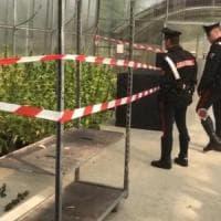 Rivoli, tra i fiori del vivaio una piantagione di marijuana: arrestati coniugi i...