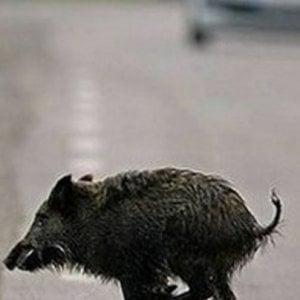Torino, un cinghiale in città provoca un incidente in corso Romania
