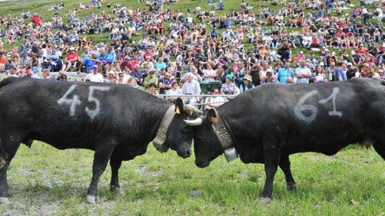 """Allevatrice valdostana travolta dalla sua mucca durante la """"Bataille des Reines"""": è grave"""