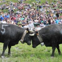 Allevatrice valdostana travolta dalla sua mucca durante la