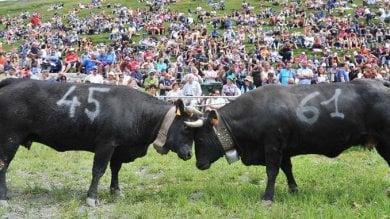 """Allevatrice valdostana travolta dalla sua mucca alla """"Bataille des Reines"""": è grave"""