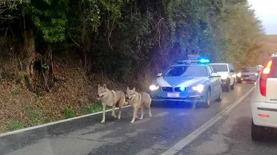 """Alessandria, la stradale """"scorta"""" due lupi cecoslovacchi in fuga per il maltempo"""