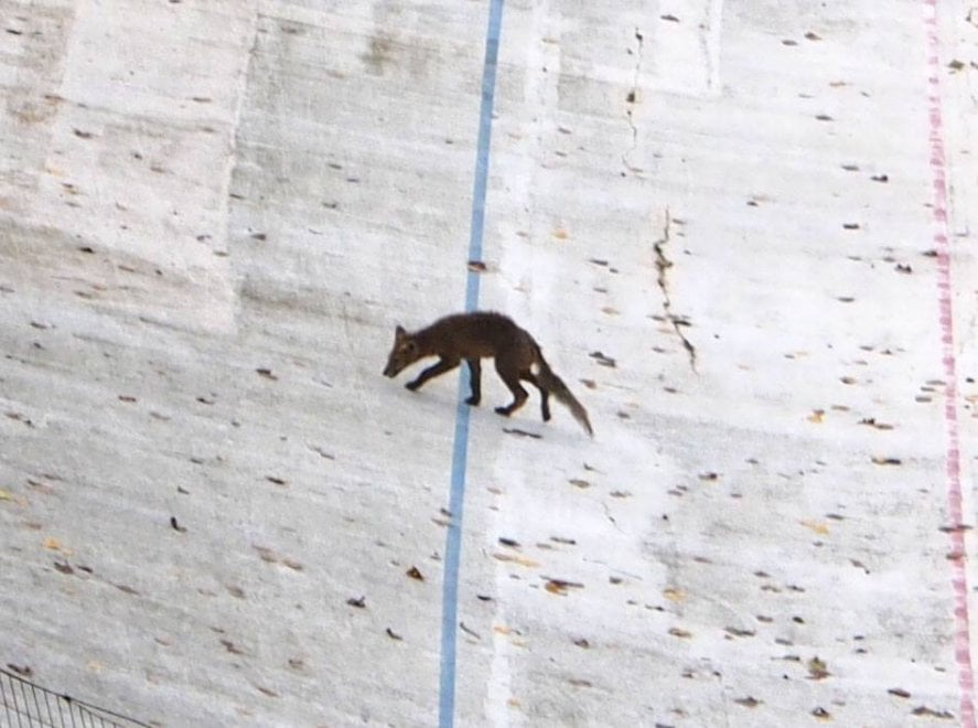 Torino, all'ex motovelodromo spunta una volpe