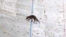 Spunta una volpe sulla pista dell'ex motovelodromo