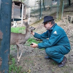 Torino, la femmina di capriolo star dei boschi: troppo abituata all'uomo per restare in libertà