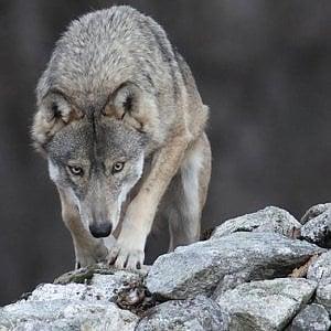 Testa mozzata di lupo appesa ad un cartello stradale