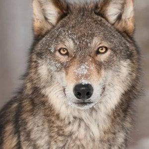 Taglia di 7mila euro per scoprire i bracconieri che hanno decapitato un lupo nel Canavese