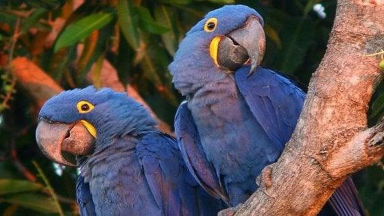Novara, sequestrati 40 pappagalli rari: c