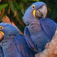 Novara, sequestrati 40 pappagalli rari: c'è anche la specie più grande del mondo
