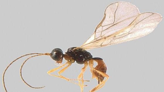 """Parco naturale delle Alpi Marittime, scoperto un nuovo insetto: è la """"Grammospila martae"""""""