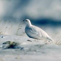 Pernice bianca e allodola, il Piemonte può vietare la caccia a sedici animali
