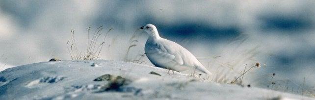 Pernice bianca e allodola, il Piemonte può vietare la caccia a sedici animali protetti