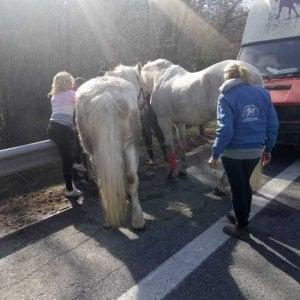 Si apre all'improvviso il portellone del camion, i cavalli fuggono sull'autostrada A5