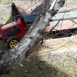 Biella, betulla di 12 metri cade nel cortile di un asilo