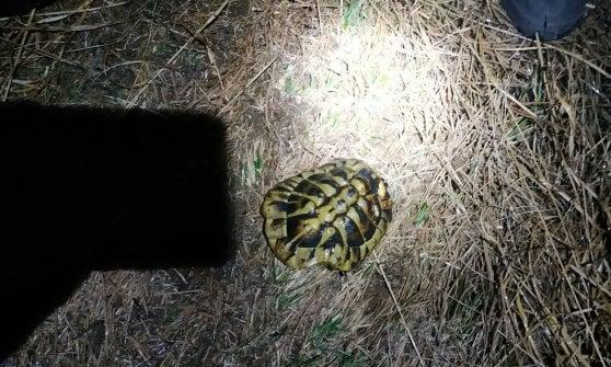 Giaveno, tartaruga intrappolata nel bosco in fiamme salvata dai volontari antincendio