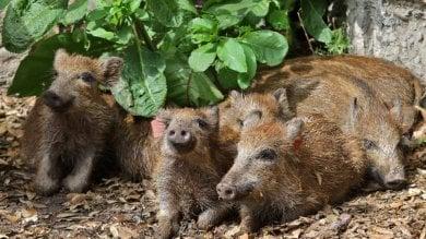 Biella, i cuccioli di cinghiale  affidati a un'azienda di salami