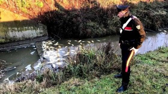 Allevamento di suini riversa di notte liquami nel Po, strage di trote nel Torinese