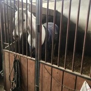 Seviziato e salvato un anno fa: rischia di tornare al suo aguzzino il cavallo di Corio