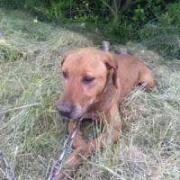 Vercelli, cane legato a un albero e abbandonato: salvato dai passanti
