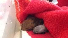 Ecco Emy, la pipistrella nata in cattività al centro Canc di Grugliasco