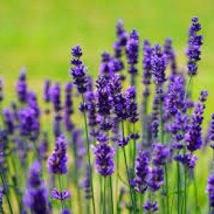 Lavanda: un profumo, un colore . una pianta dalle mille virtù
