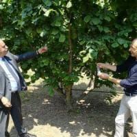 Troppi danni alle colture, il Piemonte sfida la cimice asiatica con una