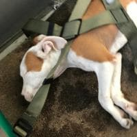 Una raccolta fondi per pagare le cure al cane lanciato dal balcone