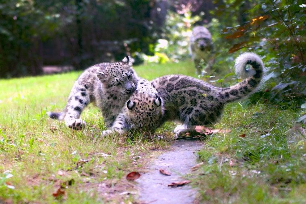 Nel Novarese nascono due cuccioli di leopardo delle nevi, specie a rischio estinzione