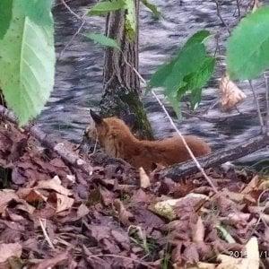 Torino, corsa contro il tempo per salvare una volpe moribonda e malata