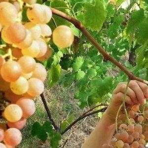 Dalla tavola allo specchio, tutti i benefici dell'uva