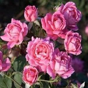 Con la Damascena, la rosa di Damasco, l'autunno si tinge di rosa