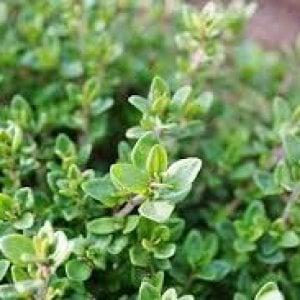 Timo: la pianta aromatica che risolve i malanni invernali