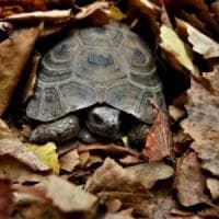 Verbania, la tartaruga va dissequestrata ma è in letargo: bisogna aspettare che si svegli