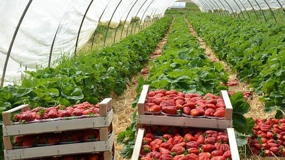 """""""Io, italiana nei campi a raccogliere fragole: lavoro nero per l'azienda agricola di qualità"""""""