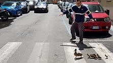 Mamma anatra  è infastidita dalle auto tornate in strada e porta gli anatroccoli al parco