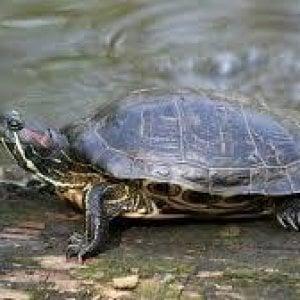Cattura una tartaruga e cerca di cucinarla viva. denunciato per maltrattamento di animali