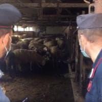 Centocinquanta ovini nel macello clandestino, erano pronti per la festa