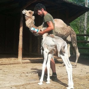 E' nata Demetra Adriana,  cucciola di dromedario l'ultima arrivata al parco safari delle Langhe di Murazzano